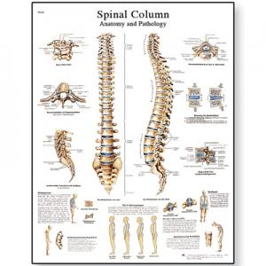 脊柱Spinal Column - Anatomy and Pathology(英文压膜高级版)